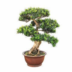 bonsai elm tree