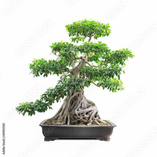 Fotobehang Bonsai green bonsai banyan tree