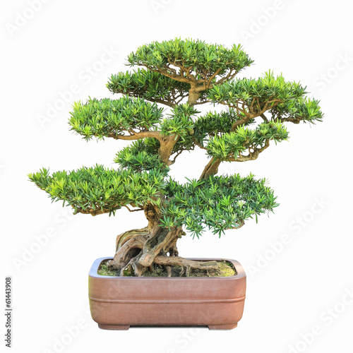 green bonsai elm tree