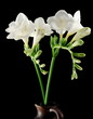white Freesia isolated on black