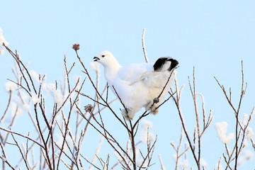The white partridge