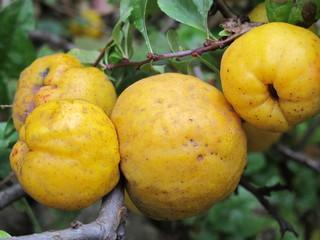 Cultivar Chaenomeles speciosa (Rosaceae) ripe fruit