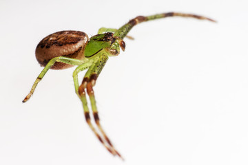 The Green Crab Spider, Diaea dorsata