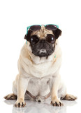 Pug dog with sunglasses. Pug Dog with big eyes  isolated on Whit