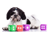 Shih tzu dog on white background