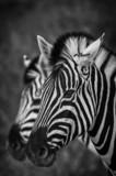 Zebra im Etosha Park, Namibia