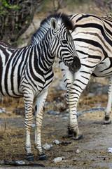 junges Zebra im Etosha Park, Namibia