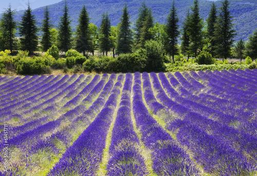 Fototapeta Lavender flower blooming.SUmmer background.Provence,France.