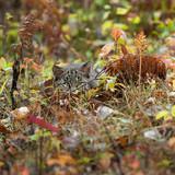 Bobcat Kitten (Lynx rufus) Lies Hidden in the Grass