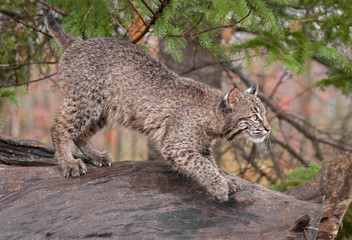 Bobcat (Lynx rufus) Looks Right Atop Log