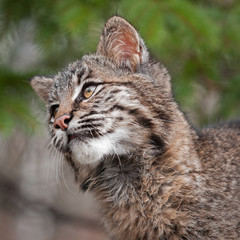 Bobcat (Lynx rufus) Looks Left Closeup