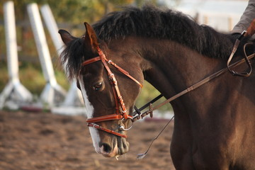 Portrait of brown sport horse