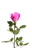 One fresh pink rose  over white background