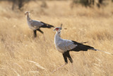 A pair of secretary birds in the savanna