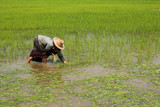 Farmer transplant rice seedlings  on field