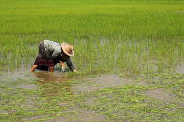 Farmer transplant rice seedlings  on field