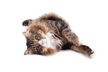 Maine Coon Cat On White