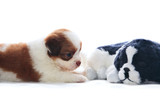 adorable of pedigree shih tzu puppies dog rekaxing  and lying on poster