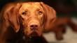 Curious hungarian vizsla dog at midnight
