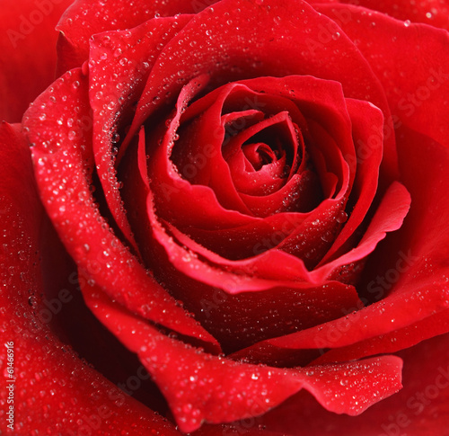 canvas print picture Red rose flower