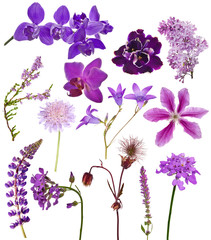 set of lilac color flowers on white