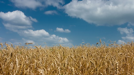 Wheat timelapse
