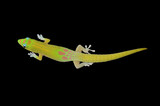 Gold Dust Day gecko, (Broad Tailed Day gecko) isolated on black
