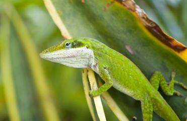 Green Anole Lizard (Anolis carolinensis), Hawaii.