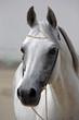 Obrazy na płótnie, fototapety, zdjęcia, fotoobrazy drukowane : Beautiful gray Arabian horse against the stable