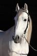 Obrazy na płótnie, fototapety, zdjęcia, fotoobrazy drukowane : Barb white horse