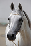 Beautiful gray Arabian horse against the stable