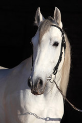 Barb white horse