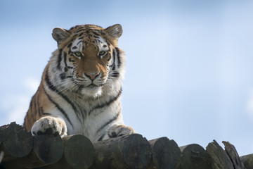 Tiger against blue sky