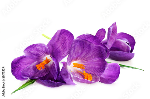 canvas print picture Crocus