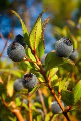 berries of myrtle