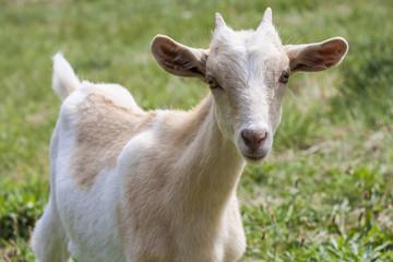 cabra blanca y marrón con cuernos