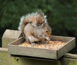 A Grey Squirrel Eating from a Wooden Feeding Box.