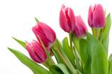 Fototapety Pink tulip
