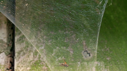 Spider catching fly in funnel web, very quick