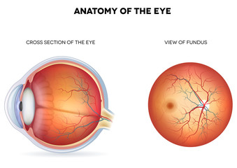 Anatomy of the eye, cross section and view of fundus
