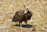 Hooded Vulture (Necrosyrtes manachus)