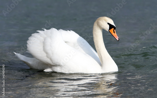 Foto op Canvas Zwaan White swan in the water.