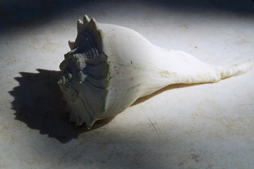 large conch shell on table