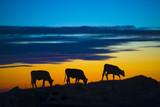 Fototapety mucche al tramonto