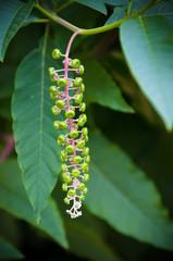 Phytolacca decandra