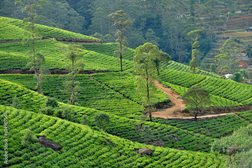 Sri Lanka - piantagioni di te - Nuwara Eliya