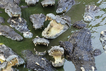 Close up crocodile masses