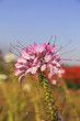 Cleome spinosa flower or spider flower, pink flower