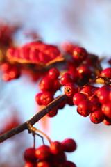 Rowan berries in the fall in natural setting