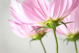 Closeup of cosmos flowers with vintage look